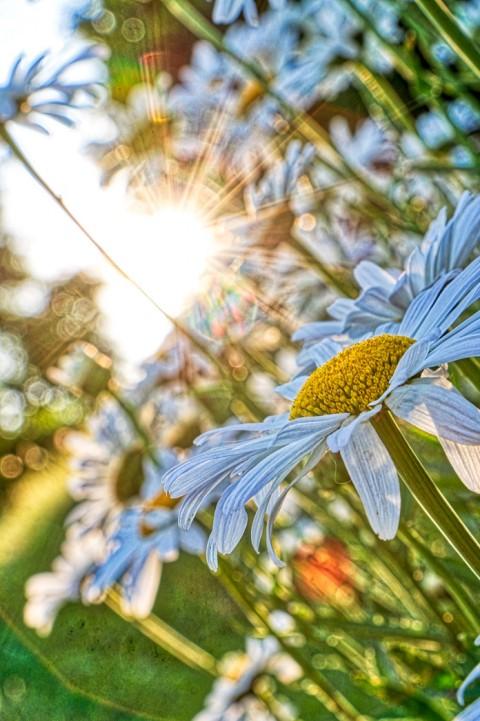 Sunset flowers, Mieussy, juillet 2018